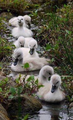littlepawz:  Invasion of cygnets.