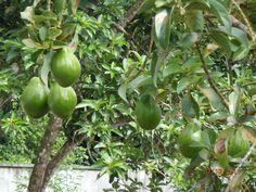 Avocado Tree Gosh, how I love those green creatures