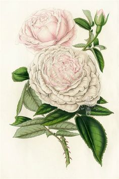 Rose Queen Victoria - high resolution image from old book. Illustration Botanique, Plant Illustration, Botanical Illustration, Vintage Botanical Prints, Botanical Drawings, Botanical Art, Vintage Flowers, Pink Flowers, Charles Darwin