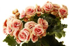 Begonias are a popular houseplant. Some varieties are grown for their flowers while others their striking foliage. Growing begonia houseplants only requires a little bit of knowledge, which you can find here.