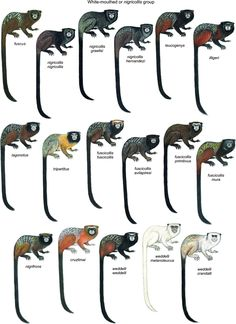 Leontocebus spp.  | The white-mouthed tamarin or nigricollis group.  Illustrations by Stephen D. Nash. [Conservation International.] Species New to Science: [Mammalogy • 2016] Taxonomic Review of the New World Tamarins (Primates: Callitrichidae); Saguinus spp. & Leontocebus spp.