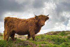 Schotse hooglander op Texel
