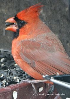 Male cardinal at my feeder in NJ. They love sun oil seeds and safflower. mysmallgardenparadise.com