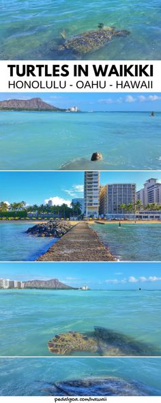 Waikiki Beach. Where to see turtles on Oahu on Hawaii vacation, Turtle Beach at sunset is one of the best Oahu beaches for turtle sightings! US beach in Hawaii add to bucket list of things to do on Oahu. Going to Laniakea Beach on the North Shore gives you things to do with nearby swimming, snorkeling, hikes, waterfalls. Worth Honolulu or Waikiki drive! USA travel destinations, world adventures on a budget! What to wear, what to pack for Hawaii packing list to prep. #oahu #hawaii