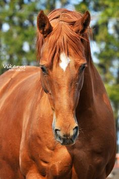 chestnut and white horse - Google Search