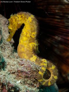 Tigertail Seahorse, Scuba Diving Similan Islands, Phuket, Thailand http://freedom-divers.com