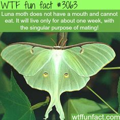 Luna Moth does not a mouth -  WTF fun facts #facts