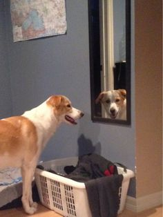 My dog likes to stare at me through mirrors #staring #mirror #funnydog