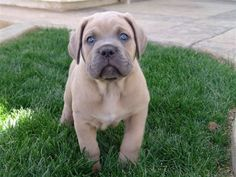 Cane Corso puppy... this thing will be 200lbs 2 Big and 2 Cute