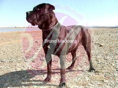 Bruno Madonna South African Boerboel female, 2 years old. South African Boerboel, Farm Dogs, Some Pictures, Madonna, This Is Us, Pitbulls, Female, Gallery, Animals