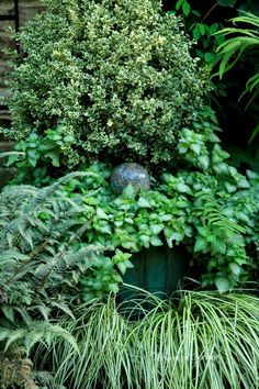 Small variegated English Holly 'Argenteo Marginata', Lamium maculatum 'Beacon Silver', surrounded by Japanese Painted fern and Golden variegated Sweet Flag.