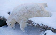 Il riposo dell'orso Taiga all'aquarium di Québec City. (Mathieu Belanger, Reuters/Contrasto)