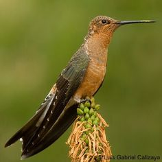 """Hummingbird Pics ®: Patagona gigas, Giant Hummingbird lives in the Andes Mountains from Ecuador to Argentina. From beak tip to tail tip it measures 9.85"""" long -- the world's largest hummingbird"""