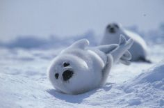 Baby Harp Seal Pup & Mom.