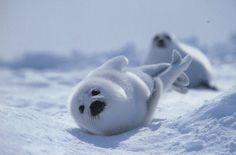 Baby Harp Seal Pup & Mom.