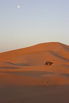 Camel in the sand