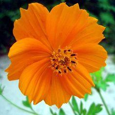 Orange Cosmos Flower Flower Seeds Online Flower Seeds Cosmos Flowers