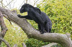 [Gratis Stock Afbeeldingen] dier, zoogdier, luipaard / luipaard, zwarte luipaard / panter, stand / stand up ID: 201308111400 - GATAG   gratis image-Beelden 4,0