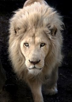 What a beautiful lion