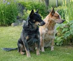 Blue and Red Heelers