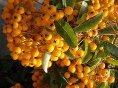 Pyracantha Soleil d'Or, very tough shrubs which tolerate a wide range of demanding conditions Evergreen, Shrubs, Conditioner, Range, Stuffed Peppers, Fruit, Vegetables, Cookers, Stuffed Pepper