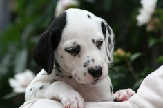 Dalmatian puppy with one black ear! Looks like the one I wanted to get at wolf lake but both ears were black!
