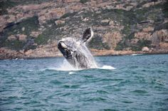 12 Incredible Adventures along South Africas Garden Route Places To Travel, Places To See, Sun And Water, Beautiful Places In The World, Whale Watching, Places Of Interest, Africa Travel, Continents, Wonders Of The World