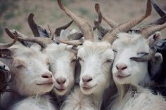 goat family photo