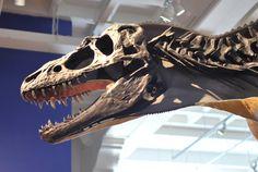 //  gorgosaurus  // Photo by Brian Switek.