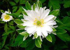 Wood anemone - Anemone nemorosa 'pleniflora