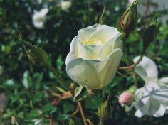 The white rose a new beginning.... . . . . . . .  #moodygrams #freshstarts #freedom #mood #roses #whiteroses #plants #colour #happy #blessed #mobilephotography #photography #lettinggo #newstart #shotoniphone #photography #hobby