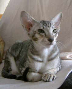 Tabby Oriental Shorthair