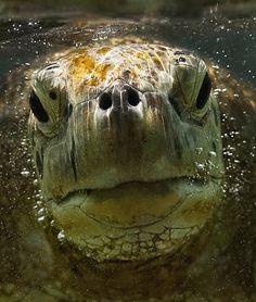 Amazing Underwater Stock Photography Pictures Of Sea Creatures Beautiful Creatures, Animals Beautiful, Cute Animals, Pictures Of Sea Creatures, Tortoise Turtle, Alligators, Turtle Love, Turtle Painting, Anaconda
