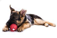 https://flic.kr/s/aHskUooyBQ | Jana, pastore tedesco (german shepherd) | German sheperd puppy, Jana, from Florence, Italy.