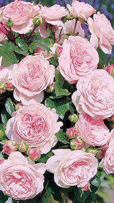 Maria Theresia®. Een aanwinst voor iedere tuin. De roos heeft een krachtige, bossige groeiwijze.Groeikracht samen met gezondheid maken de roos zeer geschikt voor groepsbeplanting. De roos bloeit de hele zomer in dichte trossen. De nostalgische, dicht gevulde bloemen hebben een tedere zachtroze tint. De vele overhangende bloemtakken geven een romantische uitstraling. Het donkergroene, glanzende blad vormt een mooi contrast met de bloemen.