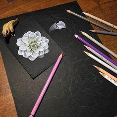 Work in process WIP Иллюстрация цветными карандашами на черной бумаге Colored pencils illustration on black paper ботаническая иллюстрация Botanical illustration
