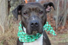 A volunteer writes: LaBrea is a very thin female found as a stray. She is young at two years of age and wears a very shiny dark coat, a white scarf and mittens. She is quite hungry which is understandable seeing her dismal weight. LaBrea is friendly...