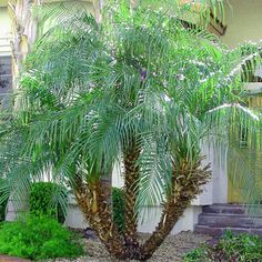 Pygmy Date Palm Tree (Phoenix roebelenii)  Durable to Houston's tough growing climate.  Ideal for patios, & courtyards.  Grown in both single and multi-trunk varieties, Pygmy Date Palms provide a soft, tropical look just about anywhere they're planted.  If you're looking for a small addition to a larger project to add some real appeal…look no further than the Pygmy Date Palm!