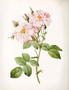 Vintage Botanical Print Antique YORK ROSE, plant print botanical print…