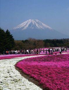 Flores Shibazakura, Parque Takinoue, Japón