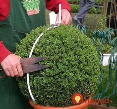 Naučte sa triky ako strihať ozdobné stromčeky a tvarovať zeleň, vaša záhrada bude vyzerať miliónovo aj v zime! Boxwood Garden, Boxwood Landscaping, Boxwood Shrub, Boxwood Plant, Boxwood Hedge, Garden Shrubs, Front Yard Landscaping, Garden Plants, Garden Art
