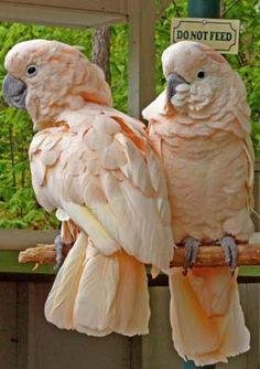 Salmon Cockatoos