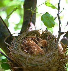 little fawn who fell asleep in a bird's nest
