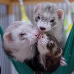 Ferret Triple Kiss