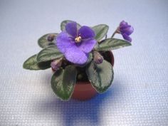 """Miniature African violet """"Rob's Twinkle Blue"""""""