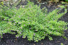 Mexican Heather Details and Photos Types Of Lavender Plants, Types Of Plants, Texas Plants, Bushes And Shrubs, Lawn And Landscape, Hardy Plants, Native Plants, The Great Outdoors