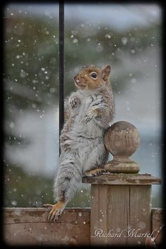 Winter squirrel - Just chillin'