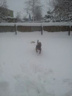 Playing in the snow.(Doxie beagle)