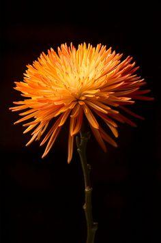 Orange Flower Redux. by Raph D