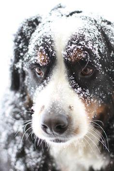 snow dog! Bernese mountain dog ...my fave